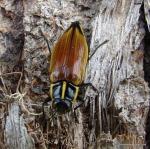 Epistomentis pictus Buprestidae