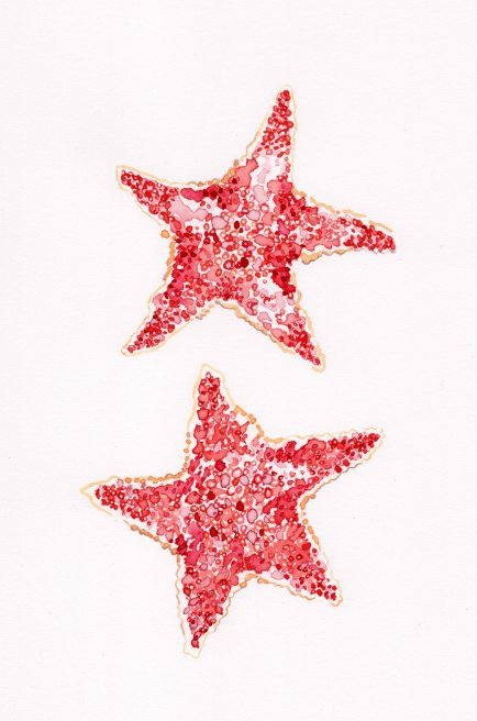 estrella_Odonaster pencillatus